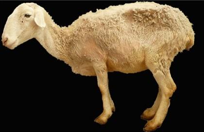 Mouton-malade--Nice-