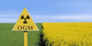 cultures OGM